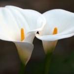 Copo-de-leite, uma planta venenosa
