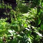 Como proteger sua horta do ataque de insetos e pragas