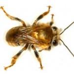 Meliponicultura permite criar abelhas até em apartamento