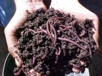 Criação de minhocas para produzir húmus